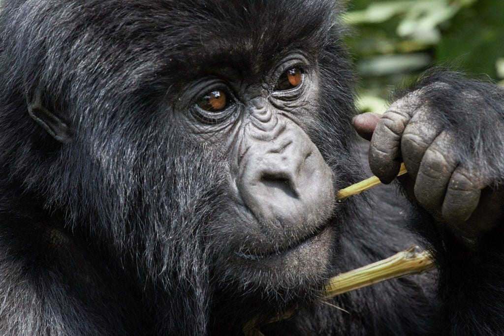 Trekking Rwanda's rare mountain gorillas